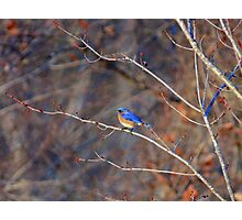 Eastern Blue Bird - Airline Trail, Colchester CT Photographic Print