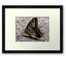 Eastern tiger swallowtail (Papilio glaucus) Framed Print