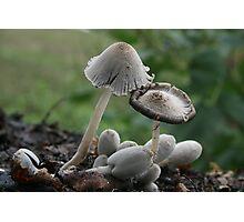 Inky Cap mushrooms Photographic Print