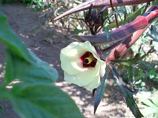 Red Okra in Bloom by Kimberly Morales