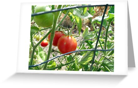 Tomatoes on the vine... by Kimberly Morales