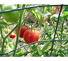 Tomatoes on the vine... Photographic Print