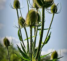 Fuller's Teasel by Colin Metcalf