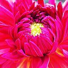 Dahlia in Pink by JuliaWright