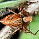 Spider by GailD