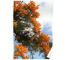 Nuytsia Floribunda In Western Australia II Poster