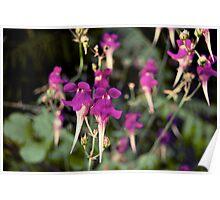 Linaria triornithophora (Gallitos) Poster