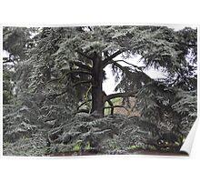 Cedar, Kew Gardens Poster