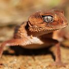 Banded Knob Tailed Gecko by Steve Bullock