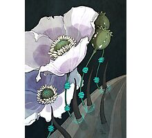 White Opium Poppies  Photographic Print