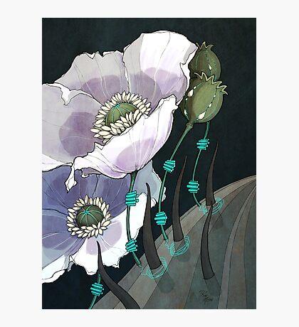 White Opium Poppies  Photographic Print