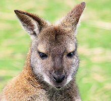 Sweet William the wallaby by missmoneypenny