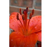 Lily Stamen - After the Rain Photographic Print
