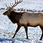 A Royal Elk in Jackson, Wyoming by Nancy Richard