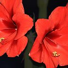 RedFlower by imagic
