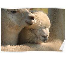 Llamas cuddling at Hadleigh Show Poster