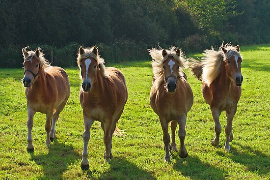 Haflingers in the sun by 7horses