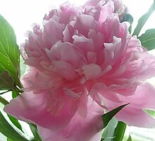 Gentle color Peony by Ana Belaj