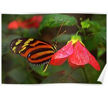 Tiger Longwing - Heliconius hecale Poster