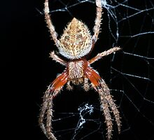 Orb Weaver Spider by GailD