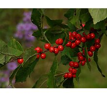 Chokeberries Photographic Print