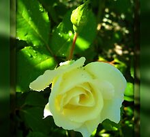 Ivory Rose by Angie O'Connor