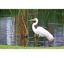 White Egret  living life in Style Photographic Print
