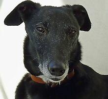 Old Greyhound. by lynn carter