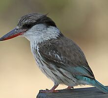 Striped kingfisher by jozi1