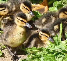 How Cute Are These Beautiful Little Ducklings by lynn carter