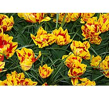 Red yellow speckled Tulips  Photographic Print