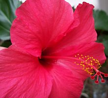 Red Hibiscus  by Baba John Goodwin