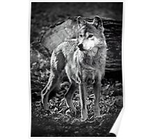 Canis Lupus Baileyi - Mexican Wolf Poster