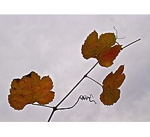 Wild Grape Leaves Photographic Print