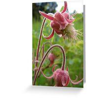 Montana wildflower- Prairie Smoke Greeting Card