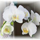 Orchid by JacquiK
