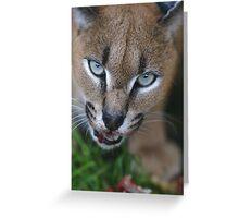 Caracal Lynx feeding Greeting Card