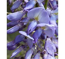 Wysteria beauty Photographic Print
