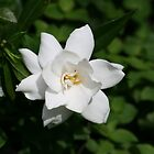 Creeping Gardenia: First Bloom by aussiebushstick