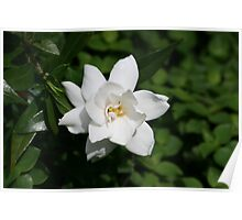 Creeping Gardenia: First Bloom Poster