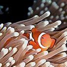 Anemonefish by Melissa Fiene