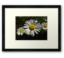 Daisies Framed Print