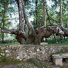 Six-legged Tuscan Tree-Italy by Deborah Downes