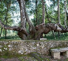 Six-legged Tuscan Tree-Italy by Deborah Downes