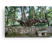 Six-legged Tuscan Tree-Italy Canvas Print