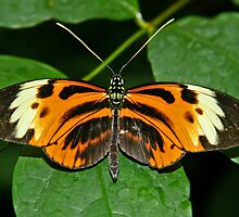 Numata Longwing by Robert Abraham