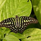 Tailed Jay by Robert Abraham