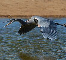 112310 Great Blue Heron by Marvin Collins