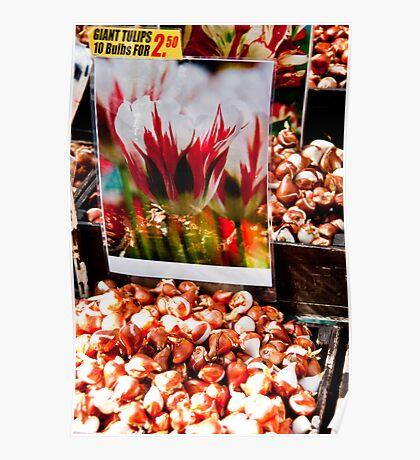 Giant Tulip bulbs Poster