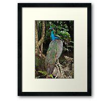 Relaxed Peacock  Framed Print